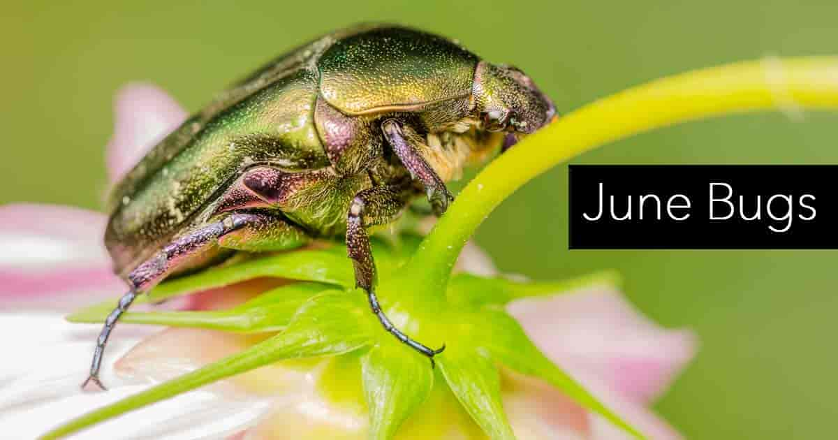 close up of june bug nibbling away on a flower