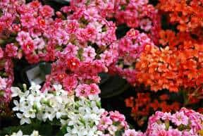 assorted blooming kalanchoe ready for winter color