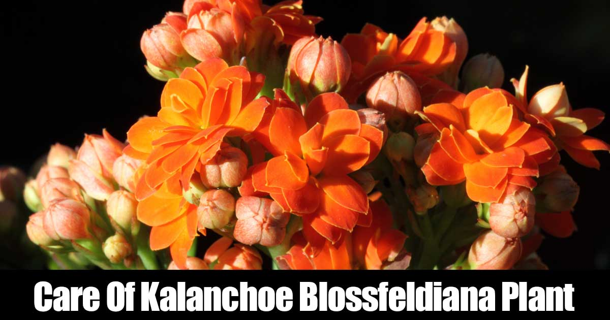 Kalanchoe Plant Care How To Grow The Kalanchoe