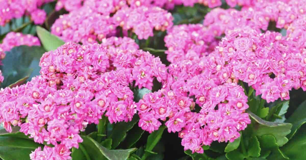 Pink blooming Kalanchoe