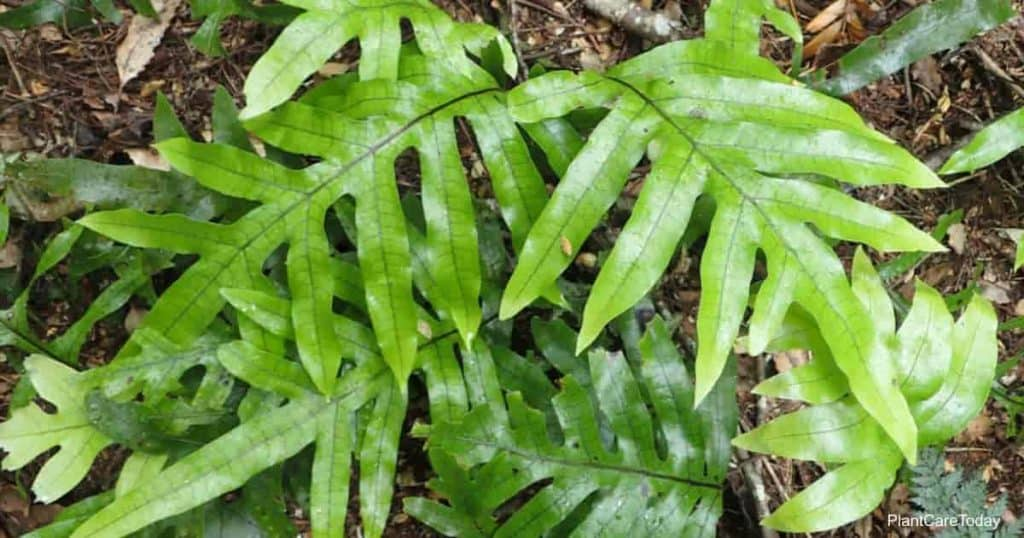 graceful kangaroo fern Microsorum fronds