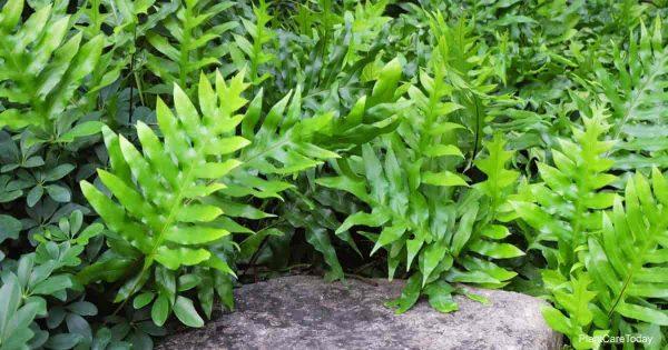 Microsorum diversifolium fern