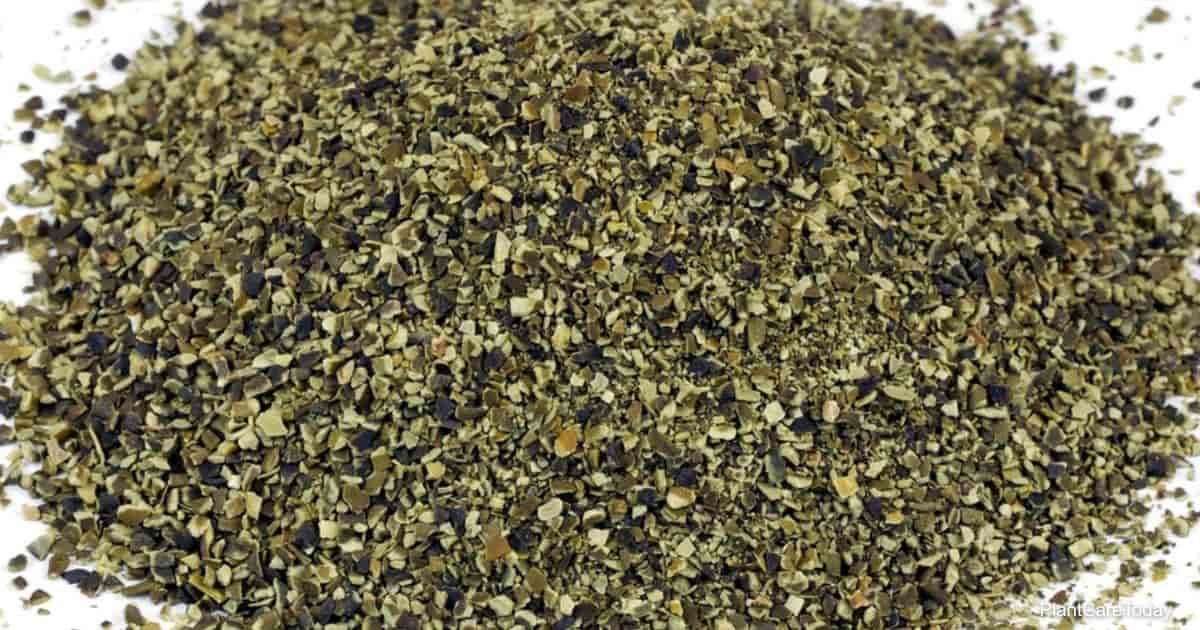 Kelp seaweed fertilizer