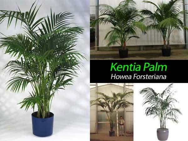 collection of kentia plams