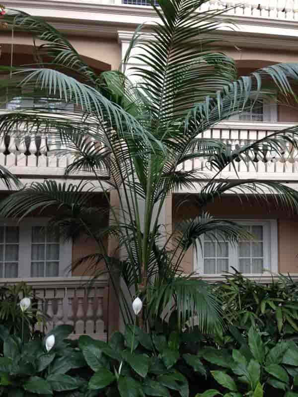 Kentia Palm care at Gaylord Palms Hotel is always excellent