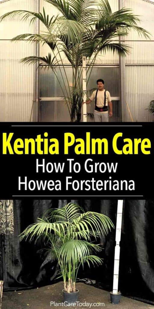 Kenta palms grown for indoor use