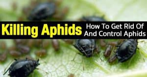 How To Get Rid Of Aphids: 12 Organic Tips And More