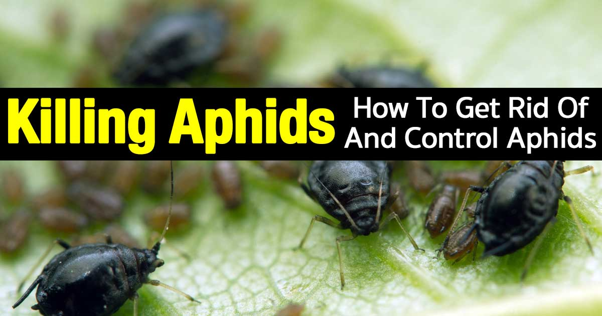 How To Get Rid Of Aphids - a close up of a colony of aphid pests