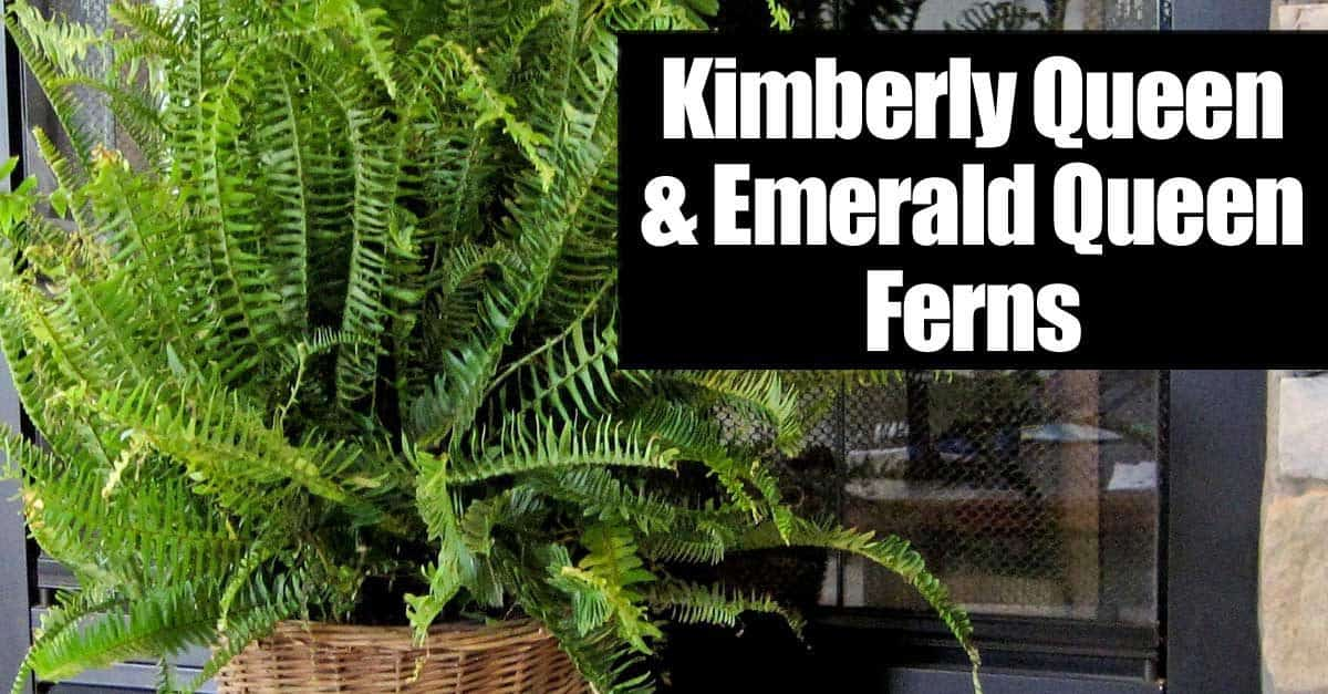 Kimberly Queen Amp Emerald Queen Ferns