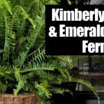 Kimberly Queen & Emerald Queen Ferns