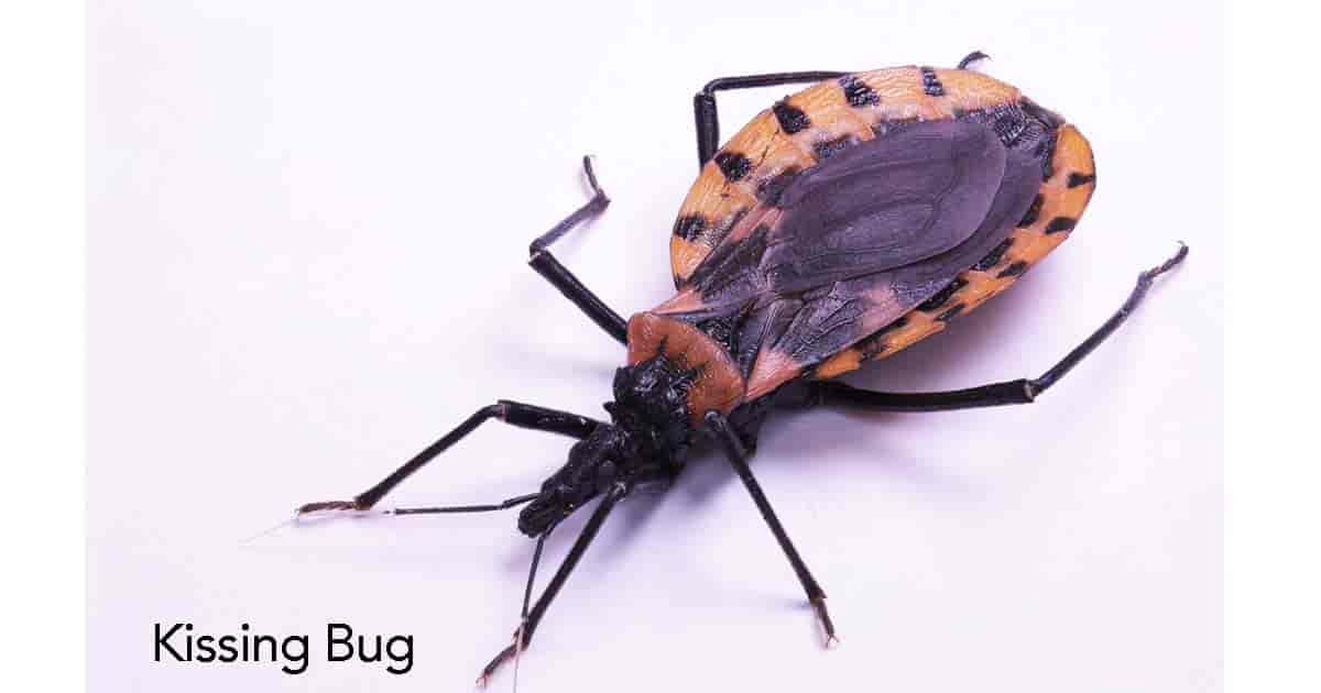 The Assassin Bug: