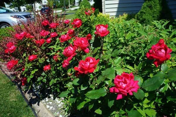 Knock Out® roses growing in a garden bed