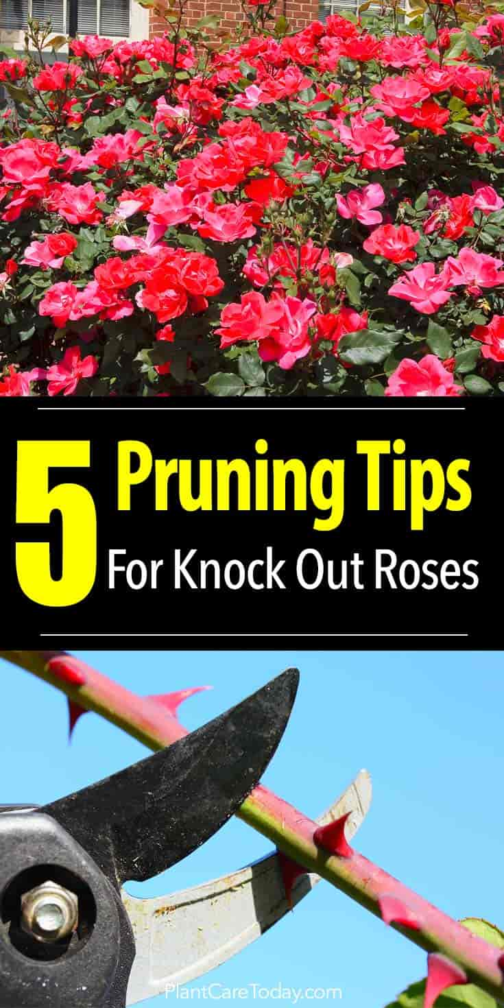 Roses In Garden: How To Prune Knockout Roses