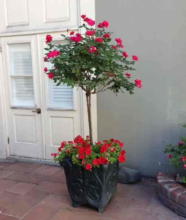 Knockout rose tree potted in bloom, New Orleans, LA