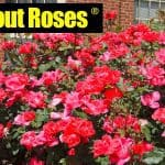 Knockout Roses Care: How To Care For Knock Out Roses