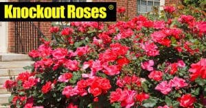 Knockout Roses Care: [5 SMART TIPS] For Growing Beautiful Knock Out Roses