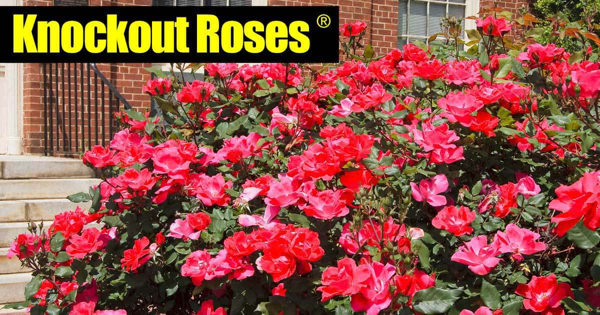 Knockout Roses Care Grow Beautiful Knock Out Roses 5 Smart Tips