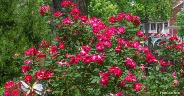 Red flowering knockout roses