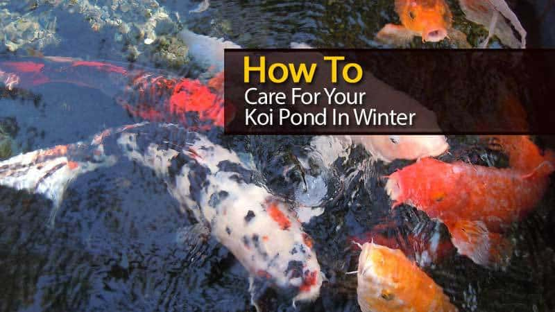 How to care for your koi pond in winter video for Koi pond how to