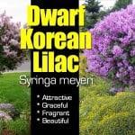 Dwarf Korean Lilac: Attractive Easy Care Fragrant Shrub