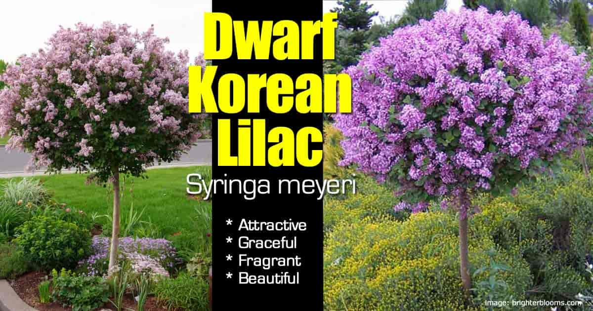 Flowering Tree Form Of The Dwarf Korean Lilac