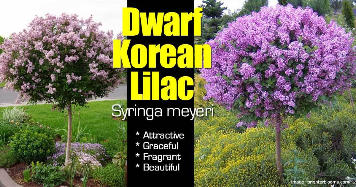 dwarf korean lilac  attractive shrub with grace, fragrance and, Natural flower