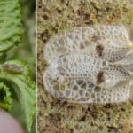 Lace Bugs: What Are They And How To Get Rid Of Them