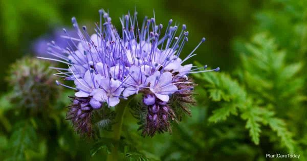 Purple blooms of the Phacelia Tanacetifolia