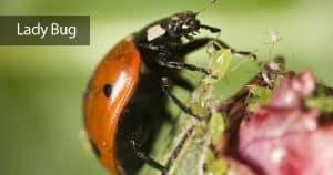 Lady bug feeding on an Aphid