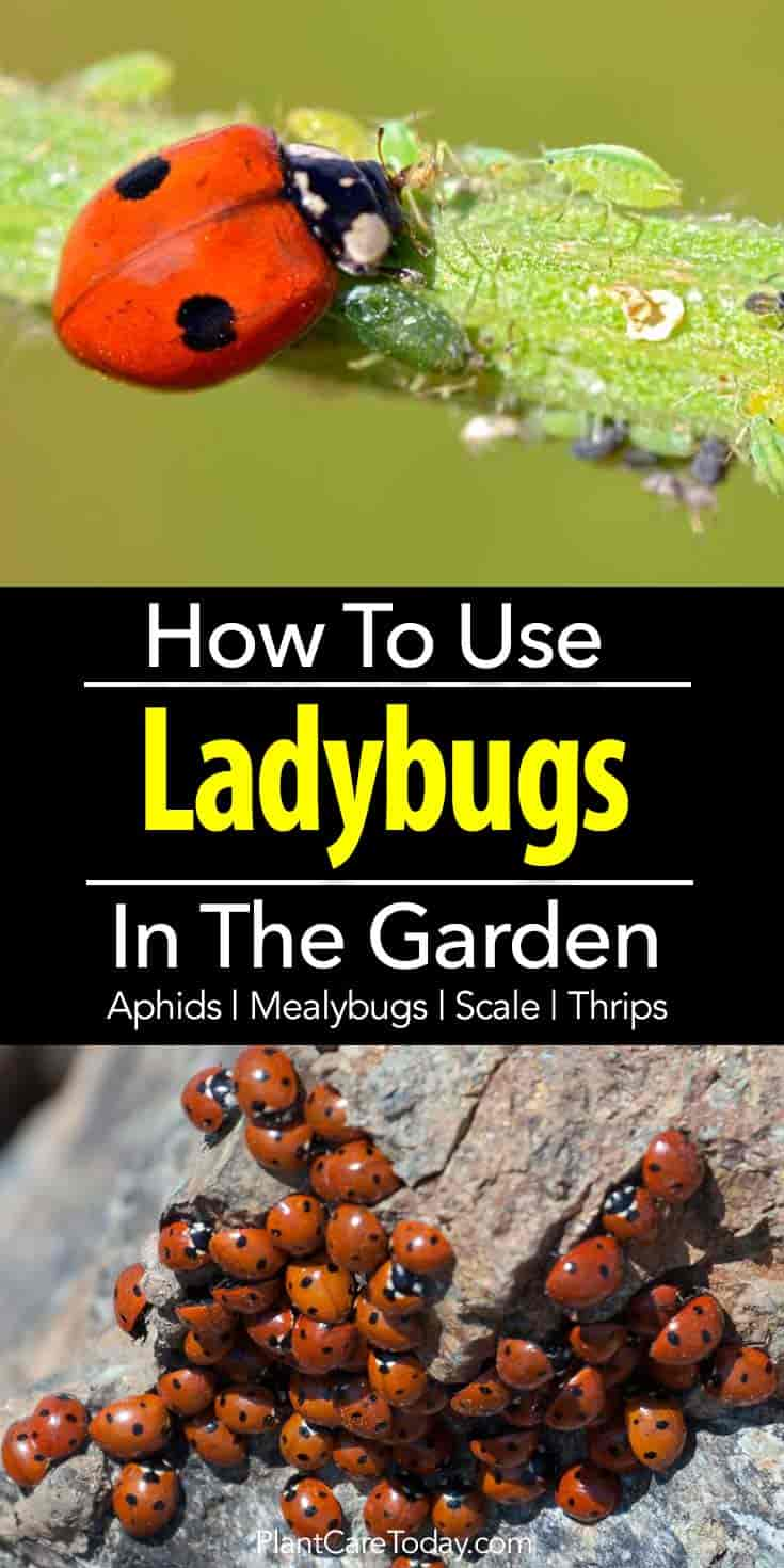 Lady Bugs eat aphids, mealybugs, spider mites, scale, thrips, and whiteflies in flowerbeds and vegetable gardens.
