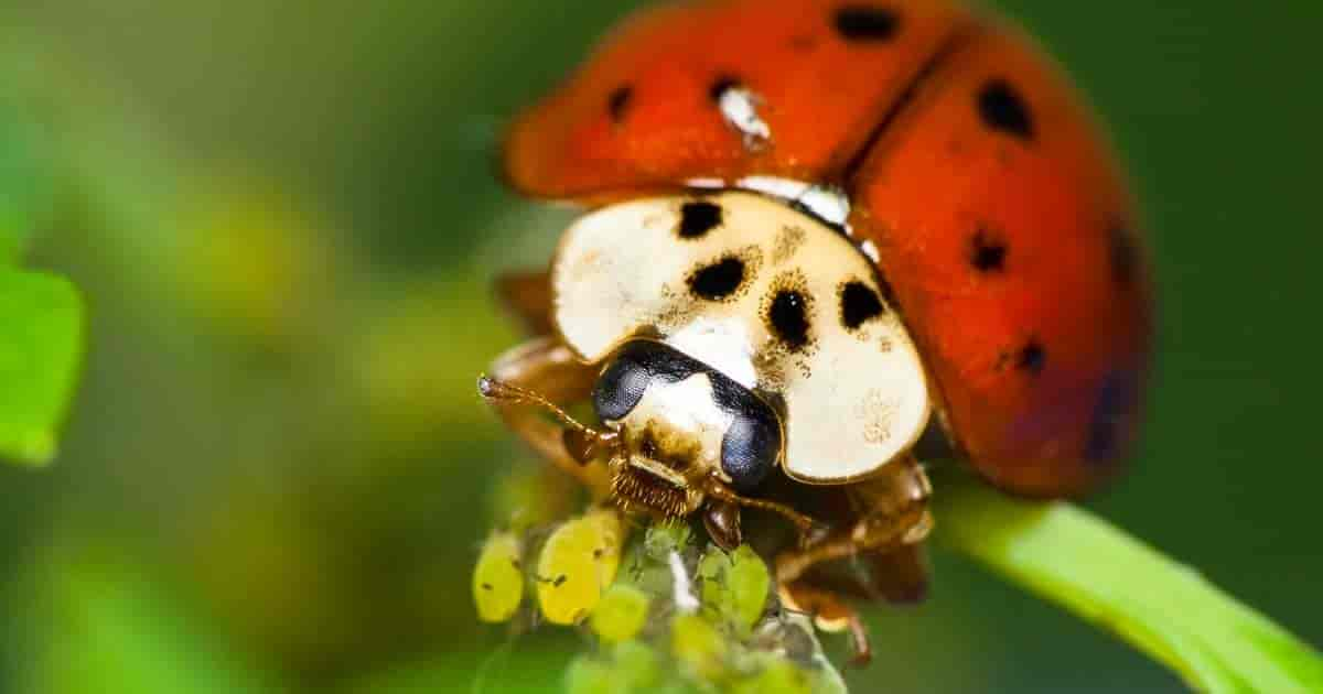 What Do Ladybugs Eat Learn About Favorite Lady Bug Food Bugs
