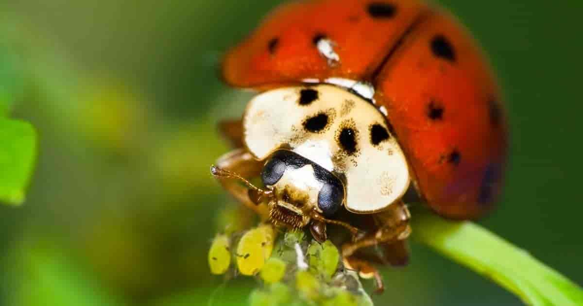 Ladybugs eat aphids