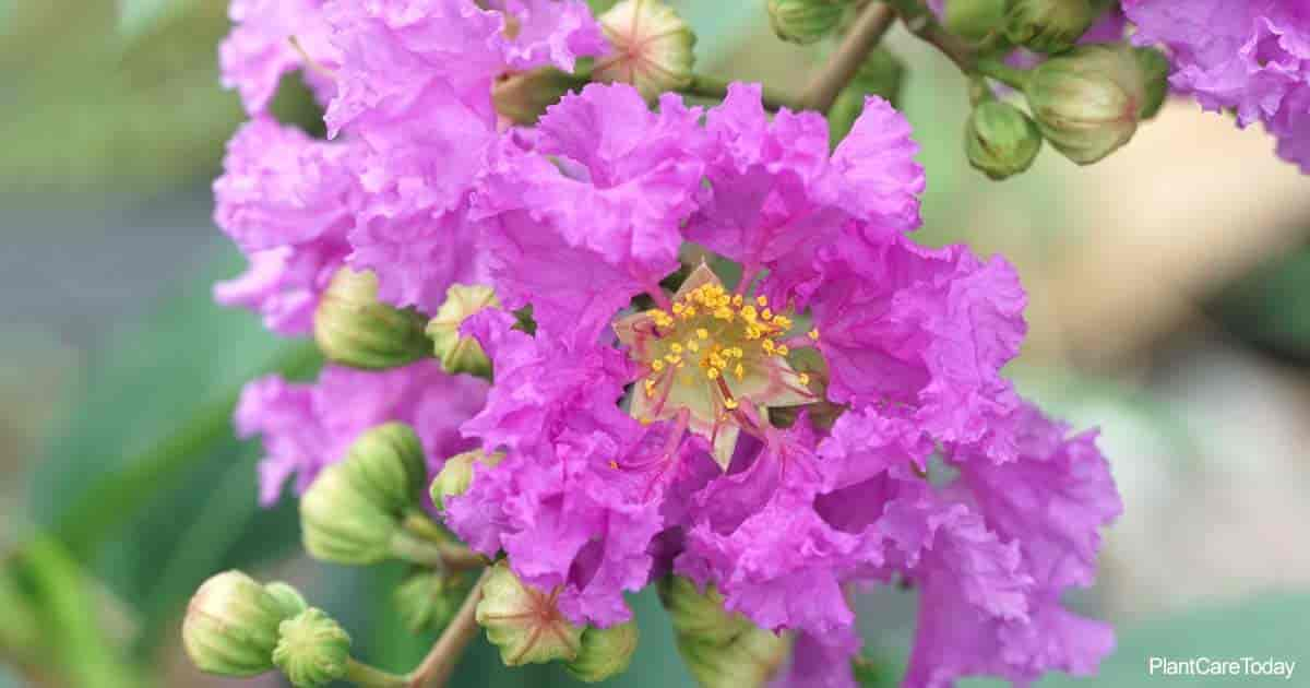 Bloom of Lagerstroemia Speciosa (Pride Of India)