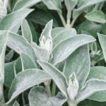 furry leaves of lambs ear plant (Stachys byzantina)