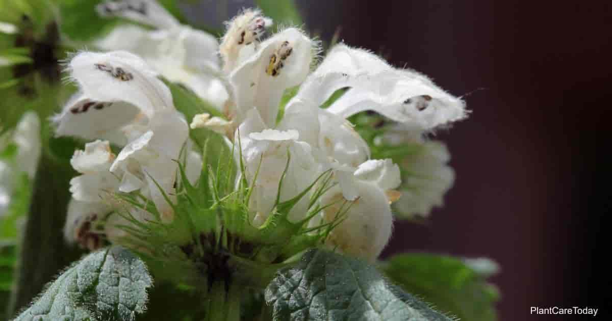 Dead Nettle flower - Lamium