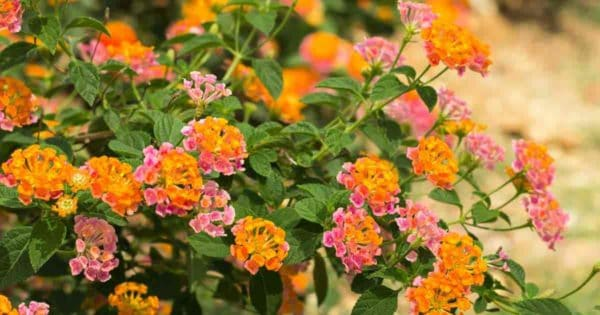 colorful summer flowering lantana