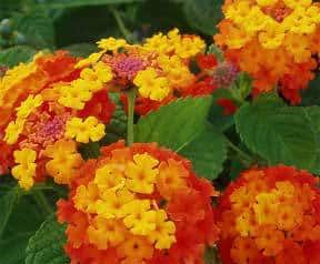 Lantana Plant How To Grow And Care For Lantana Bush Trees Guide