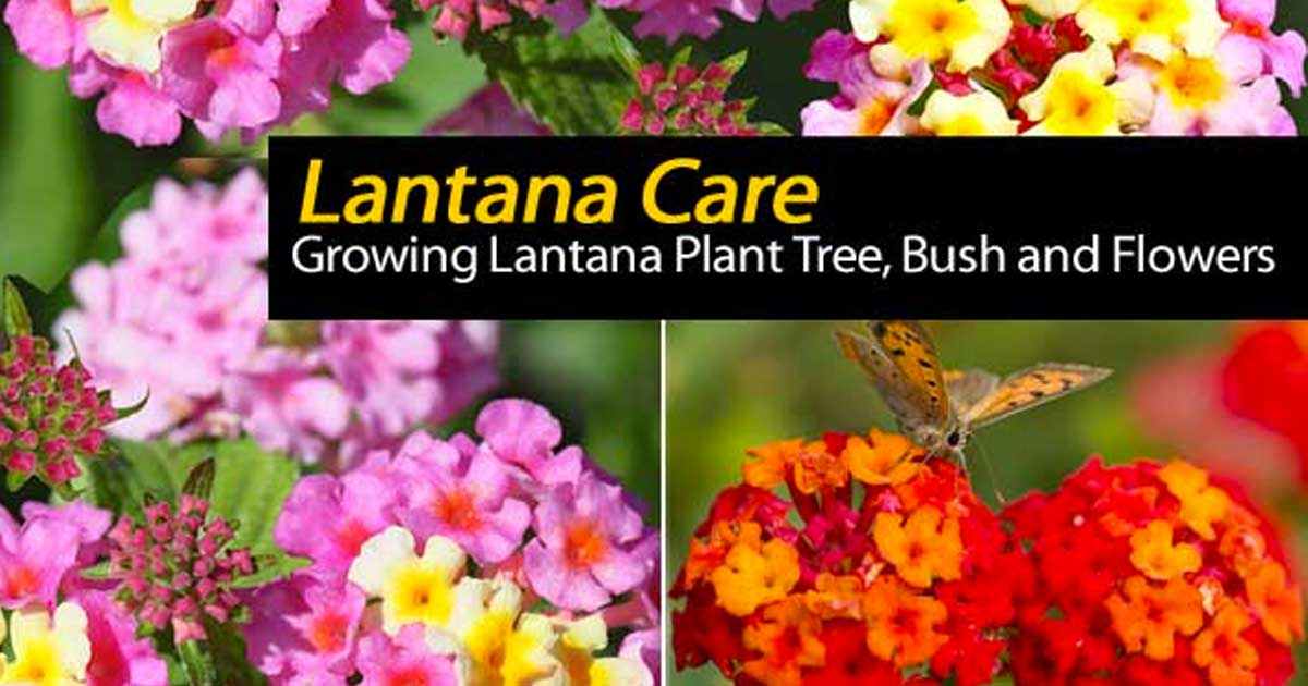 Lantana flowers and care