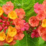 Is The Lantana Poisonous Or Toxic? The Answer!