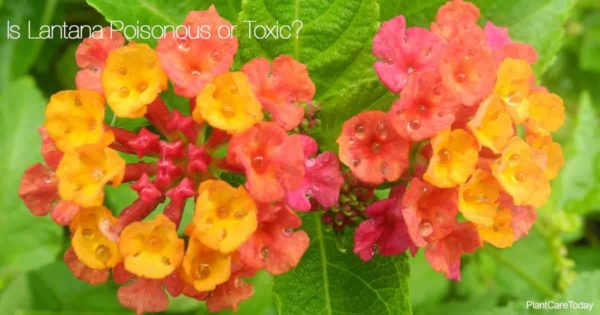 Flowers of the Lantana on many lists of Poisonous Plants