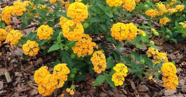 yellow flowered lantana grows well in seaside locations