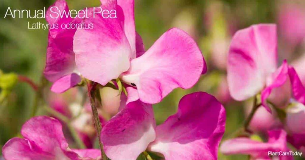 Close up of Lathyrus odoratus the annual sweet pea