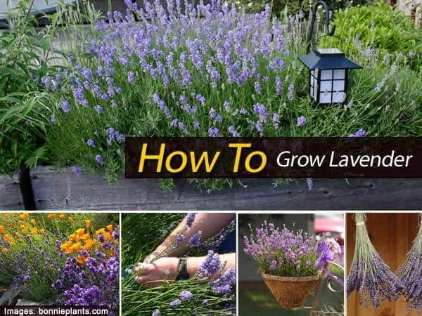 lavender-grow-012014