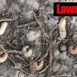 Lawn Grubs: 7 Steps For Getting Rid Grub Worms In Your Yard