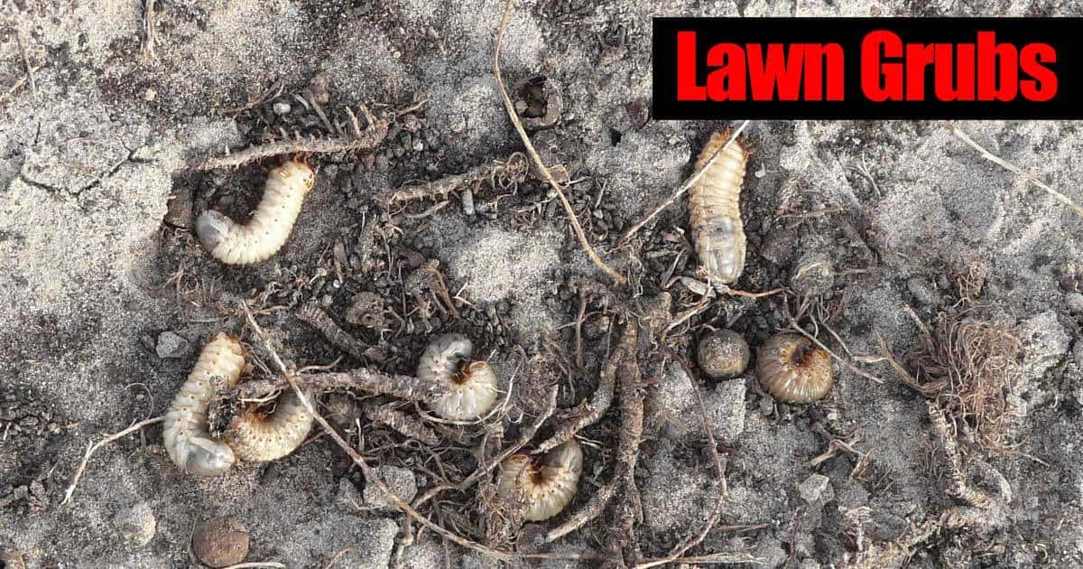 a group of lawn grubs