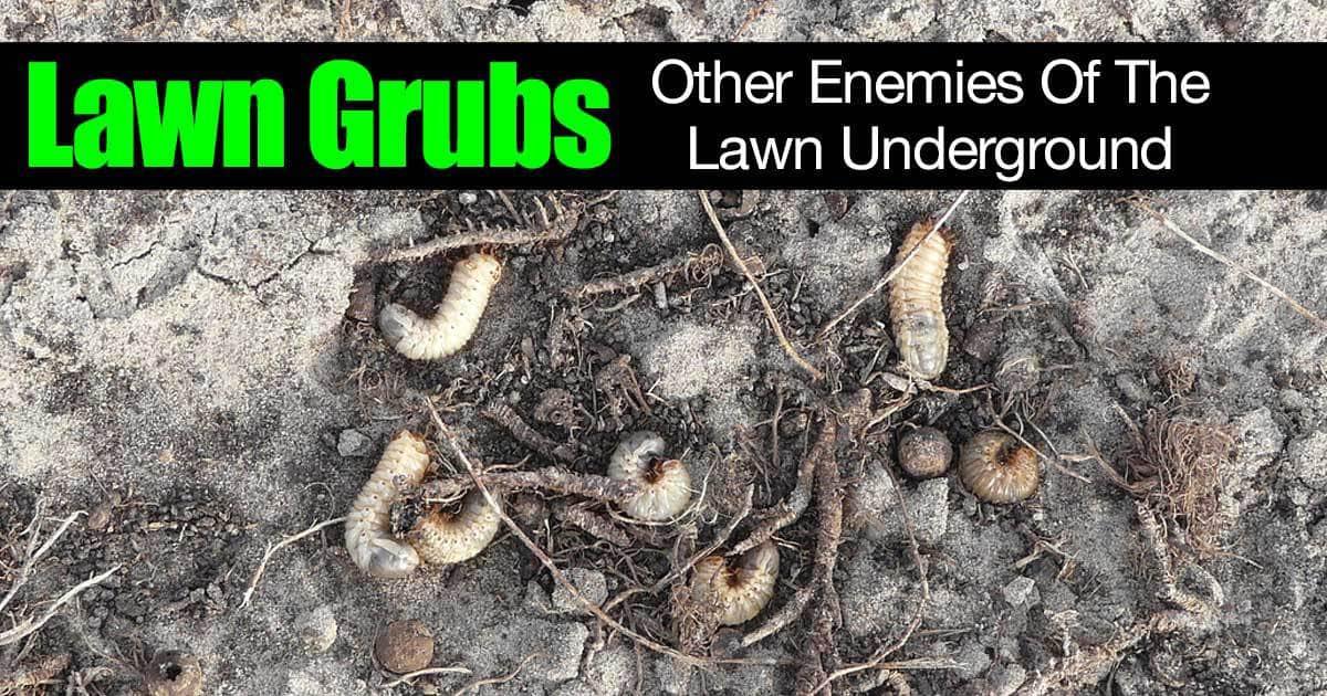 lawn-grubs-underground-01312016