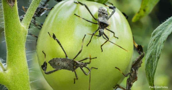 Leaf footed bug on a tomato fruit