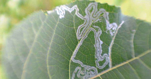 trails of leaf miner damage