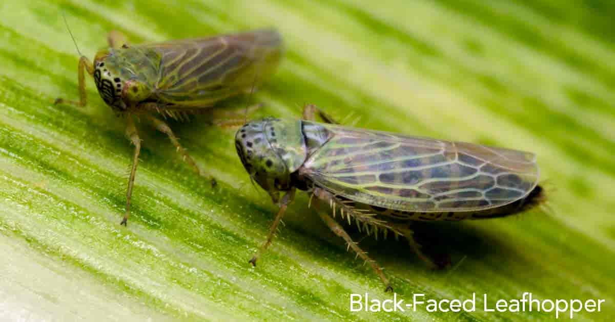 Leafhopper control of the Black faced leafhopper