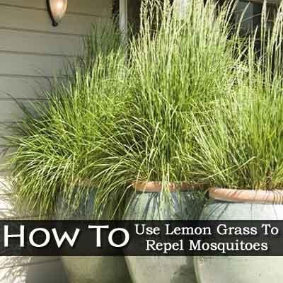 lemon-grass-2-050113